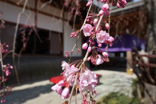 密蔵院のしだれ桜1.JPG