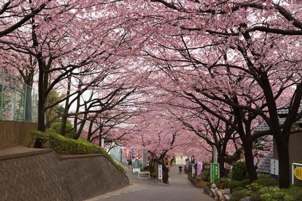 密蔵院の桜1.JPG