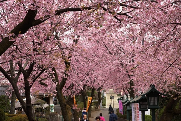 密蔵院の桜2.JPG
