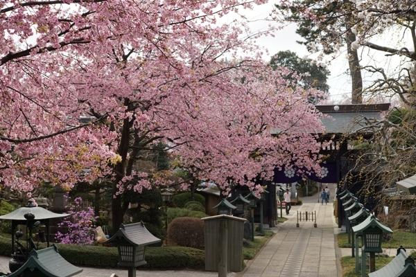 密蔵院の桜3.JPG