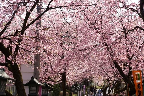 密蔵院の桜4.JPG