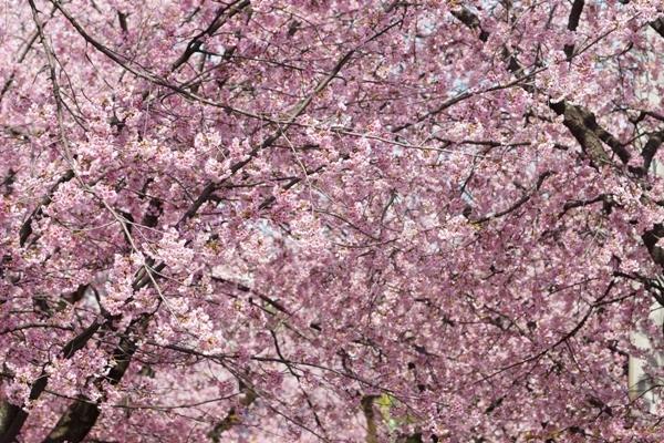 密蔵院の桜5.JPG