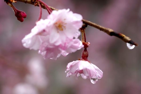 桜と水滴.JPG