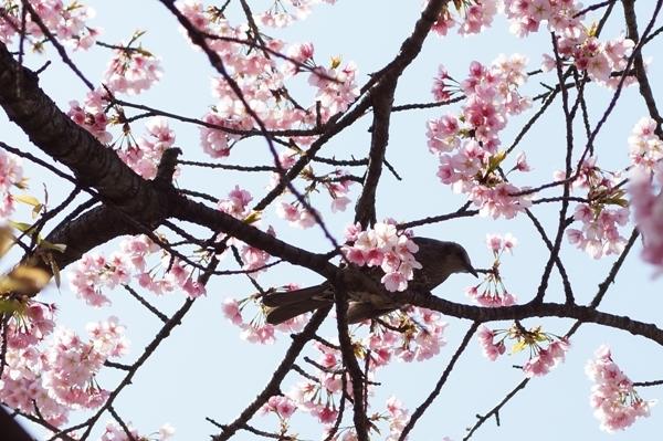 桜と鳥.JPG