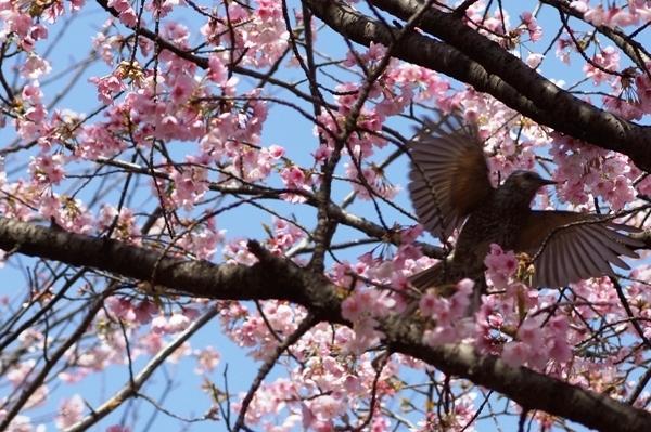 桜と鳥1.JPG