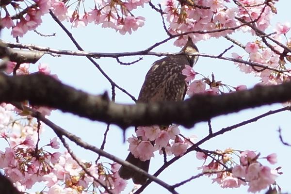 桜と鳥2.JPG