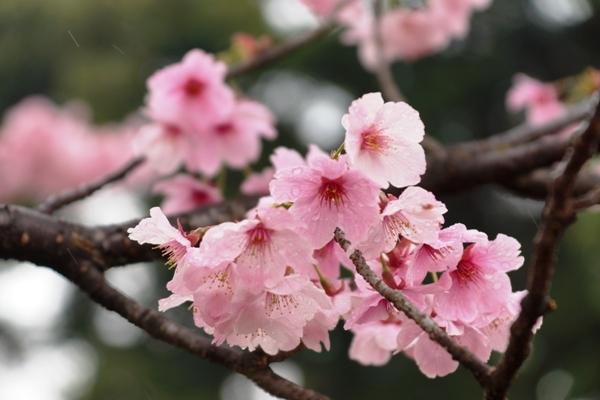 桜の花.JPG