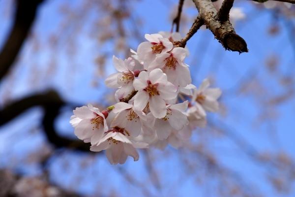 桜マクロ.JPG
