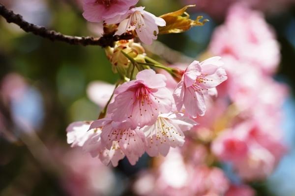 桜マクロ4.JPG