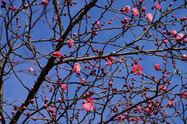 梅の花.JPG