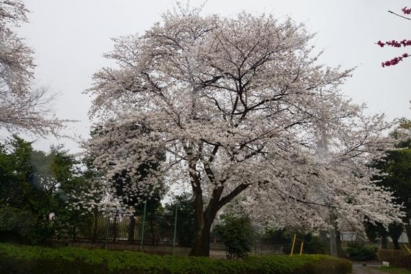 赤山城跡公園の桜.JPG