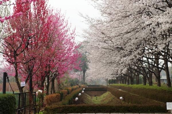 赤山城跡公園の桜1.JPG