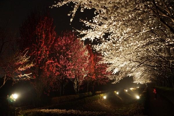 夜桜4.JPG