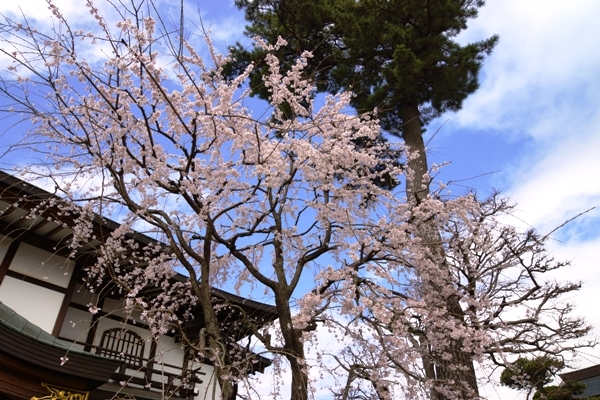 密蔵院の桜6.JPG