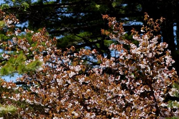 山桜.JPG