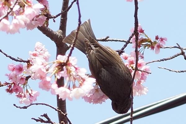桜と鳥3.JPG