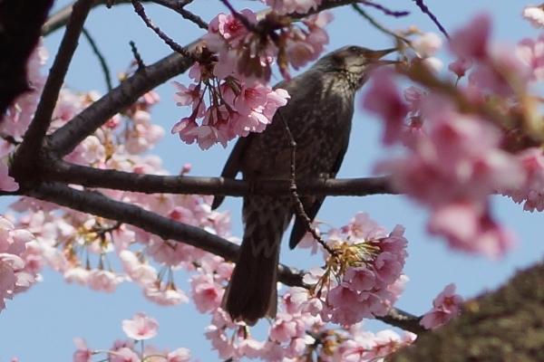 桜と鳥4.JPG