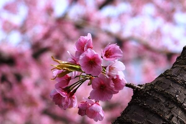 桜マクロ1.JPG