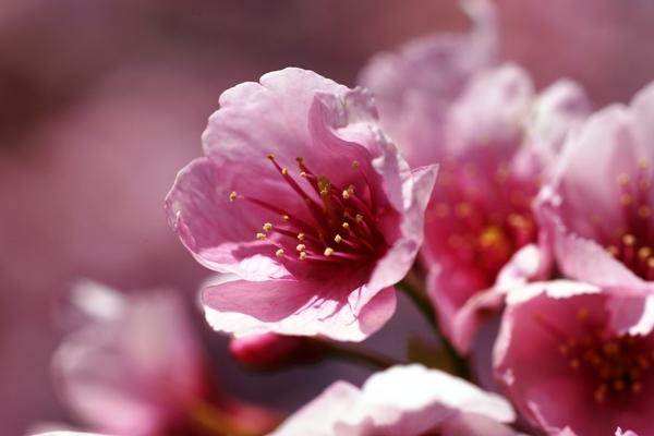 桜マクロ3.JPG