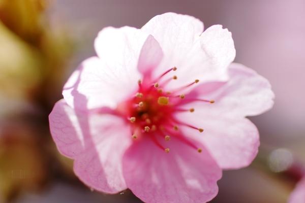 桜マクロ5.JPG