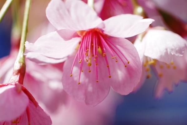 桜マクロ6.JPG