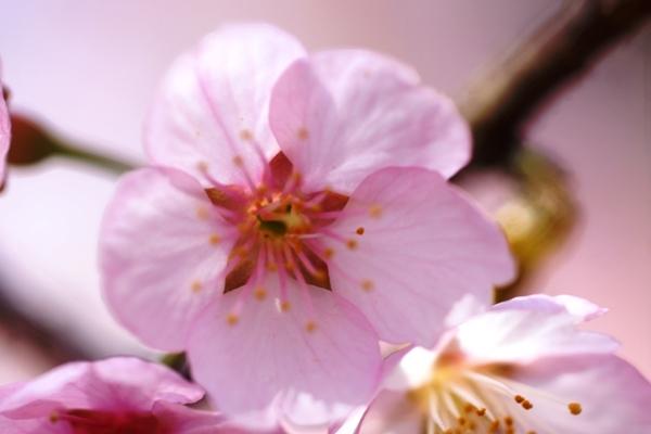 桜マクロ7.JPG