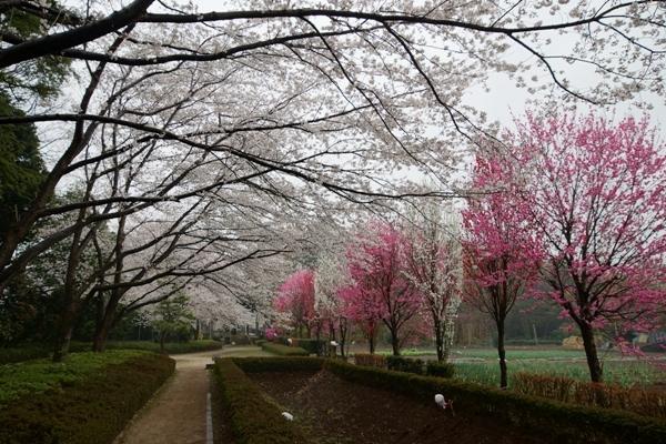 赤山城跡公園の桜2.JPG